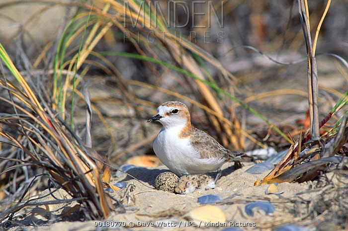 Red capped plover at nest with eggs (Charadrius ruficapillus) Tasmania,  -  Dave Watts/ npl
