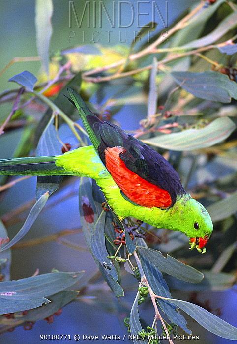 Red winged parrot feeding in tree (Aprosmictus erythopterus) Australia  -  Dave Watts/ npl