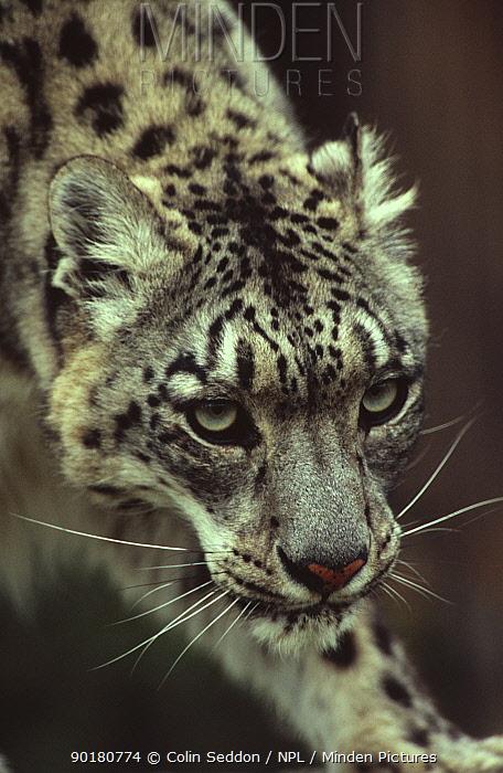 Snow leopard portrait (Panthera uncia) captive  -  Colin Seddon/ npl