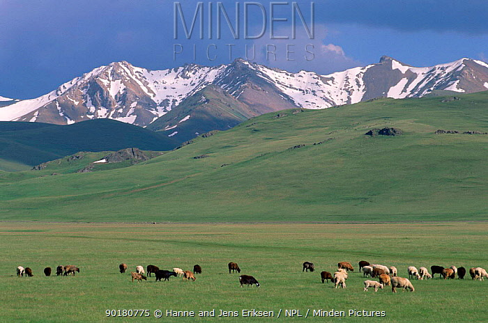 Sheep, goats grazing on steppes with mountains behind, Kyrgyzstan, Asia  -  Hanne & Jens Eriksen/ npl