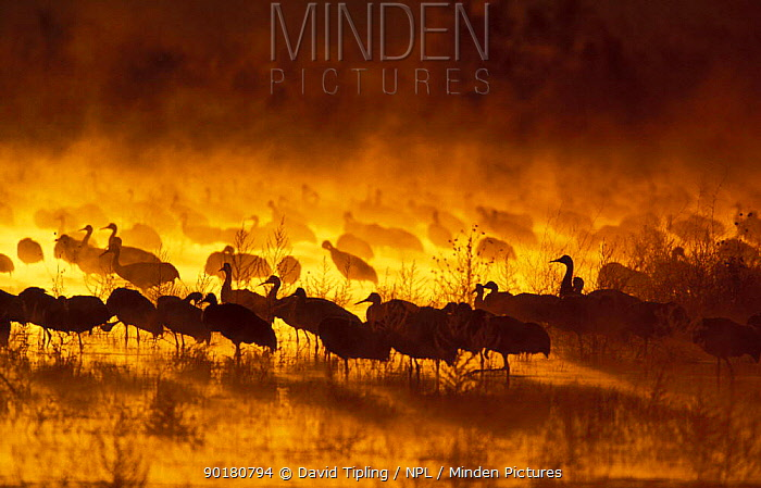 Sandhill cranes (Grus canadensis) at sunrise, Bosque del Apache, NM, USA  -  David Tipling/ npl