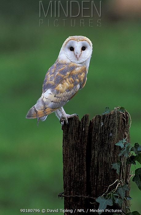 Barn owl (Tyto alba) UK  -  David Tipling/ npl