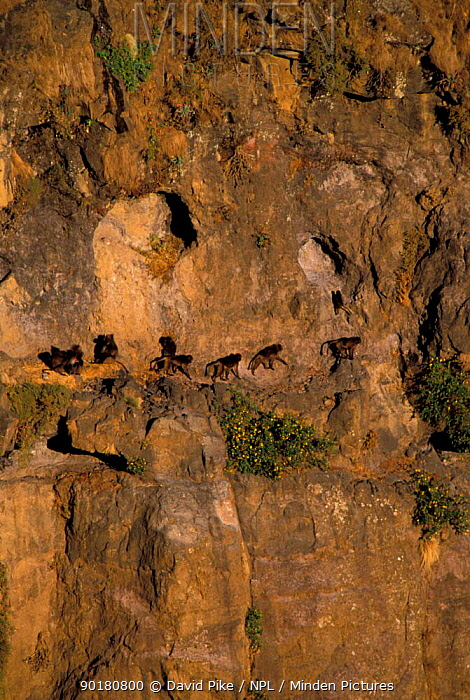 Gelada baboon group on cliffs near sleeping hollows (Theropithecus gelada) Simien  -  David Pike/ npl