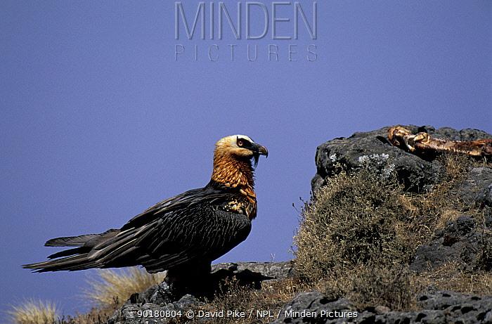 Lammergeier (Gypaetus barbatus) Simien mtns NP, Ethiopia  -  David Pike/ npl