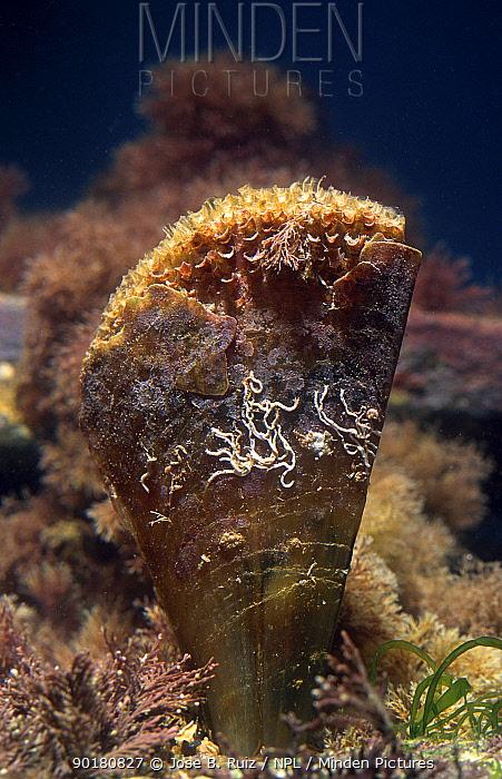 Noble pen shell (Pinna nobilis) Mediterranean  -  Jose B. Ruiz/ npl