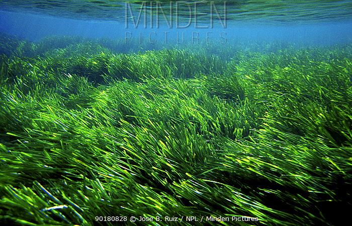 Neptune grass waving in underwater currents (Posidonia oceanica) Mediterranean  -  Jose B. Ruiz/ npl