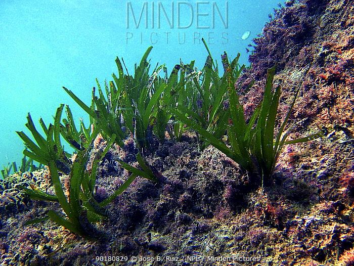 Neptune grass growing on seabed (Posidonia oceanica) Mediterranean  -  Jose B. Ruiz/ npl