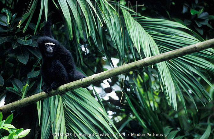 Male White browed, hoolock gibbon (Hylobates hoolock) Panbari FR Assam India  -  Bernard Castelein/ npl