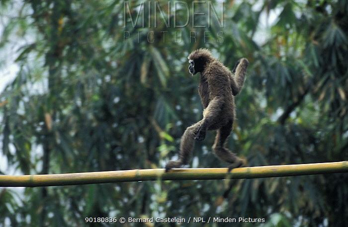 Female White browed, gibbon walking along branch Panbari FR Assam India  -  Bernard Castelein/ npl