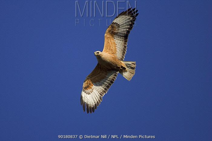 Long-legged buzzard (Buteo rufinus) adult in flight, Bulgaria  -  Dietmar Nill/ npl