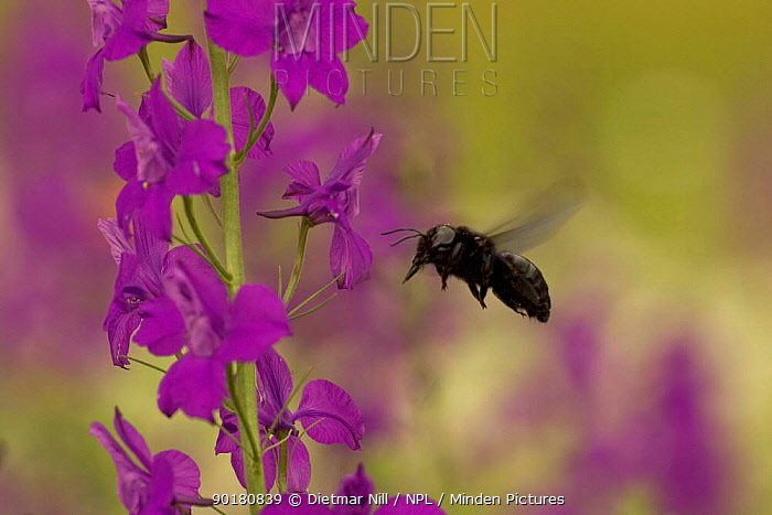 Carpenter bee (Xylocopa violacea) adult flying to Larkspur (Consolida ajacis), Bulgaria  -  Dietmar Nill/ npl