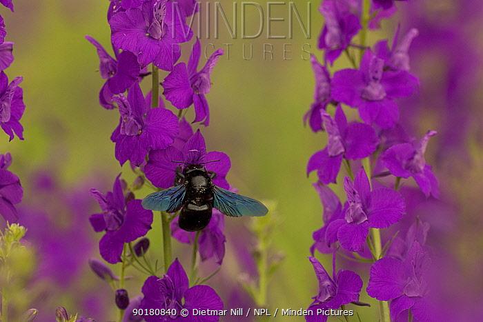 Carpenter bee (Xylocopa violacea) adult feeding on Larkspur (Consolida ajacis), Bulgaria  -  Dietmar Nill/ npl