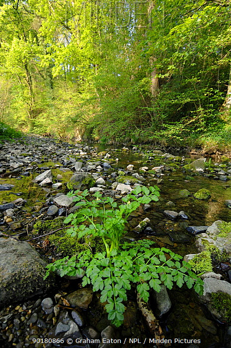 River Alyn during the summer Flowing over limestone the River dissapears underground during dry summers, Clwyd, Wales, UK  -  Graham Eaton/ npl