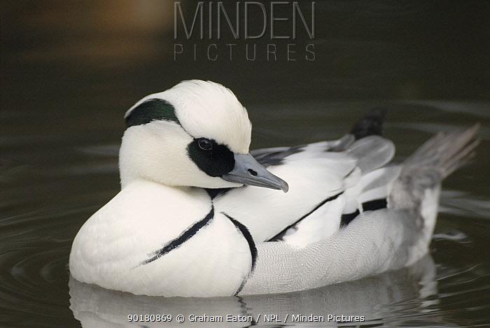 Male Smew (Mergus albellus) UK Captive bird  -  Graham Eaton/ npl