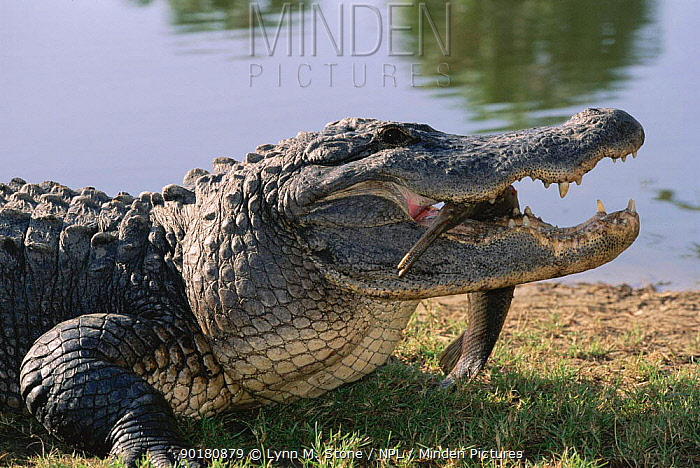 American alligator (Alligator mississippiensis) with garfish prey USA  -  Lynn M. Stone/ npl