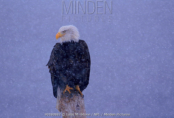 American Bald Eagle in snow, Alaska  -  Lynn M. Stone/ npl