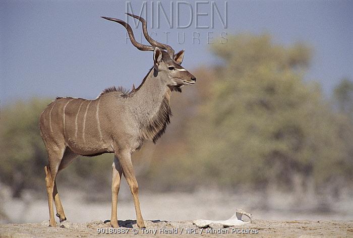 Greater kudu male, Etosha NP, Namibia  -  Tony Heald/ npl