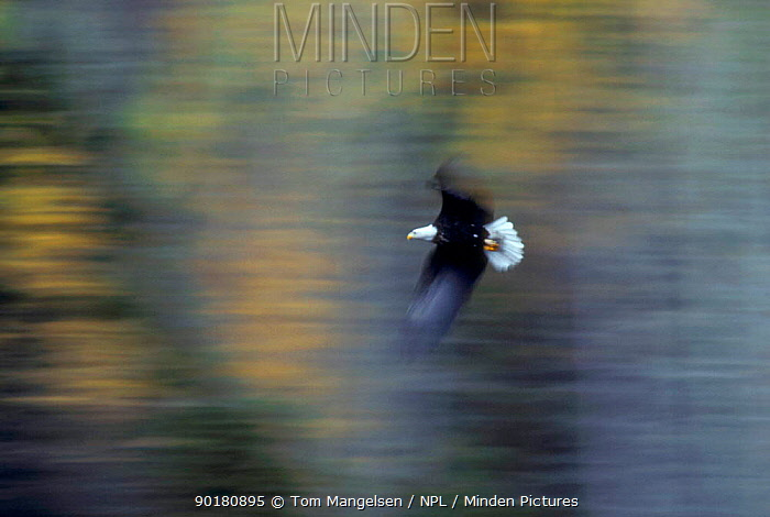 Soft focus American bald eagle in flight, Alaska USA  -  Tom Mangelsen/ npl