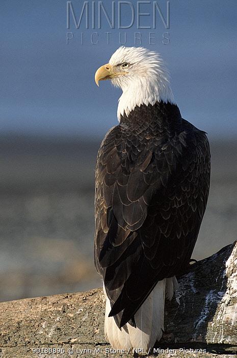 Bald eagle portrait Alaska, USA  -  Lynn M. Stone/ npl