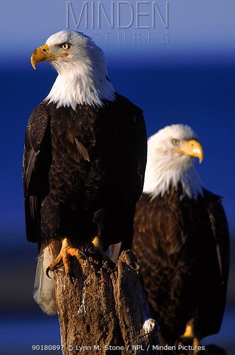 Bald eagles Alaska, USA  -  Lynn M. Stone/ npl
