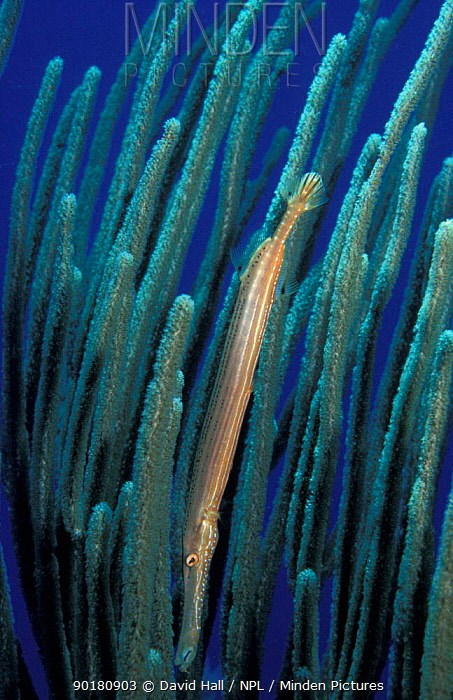 Caribbean trumpetfish in coral (Aulostomus maculatus) Cayman Is  -  David Hall/ npl