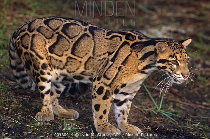 Clouded leopard (Neofelis nebulosa) Captive,  -  Lynn M. Stone/ npl