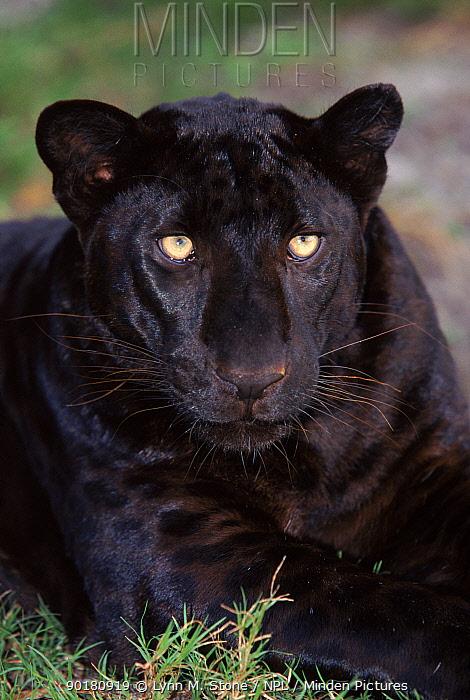 Melanistic (black form) leopard, often called black panther, USA (captive) Spots visible on legs  -  Lynn M. Stone/ npl
