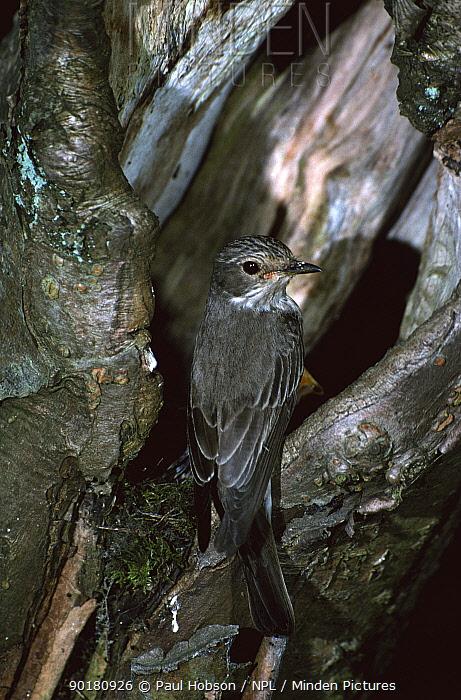 Spotted flycatcher at nest (Muscicapa striata) Derbyshire, UK  -  Paul Hobson/ npl