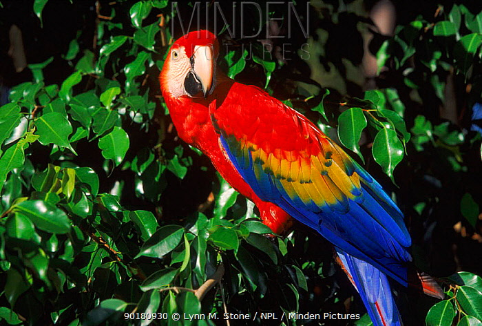 Scarlet macaw (Ara macao) in tree, USA  -  Lynn M. Stone/ npl