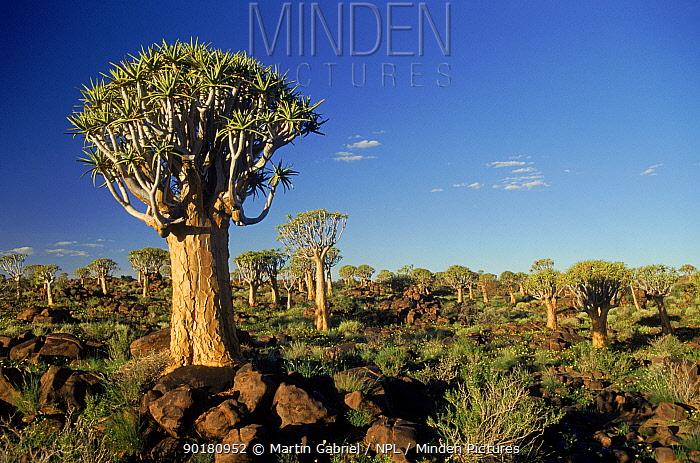 Quiver tree forest (Aloe dichotoma), Namibia Keetmanshoop  -  Martin Gabriel/ npl