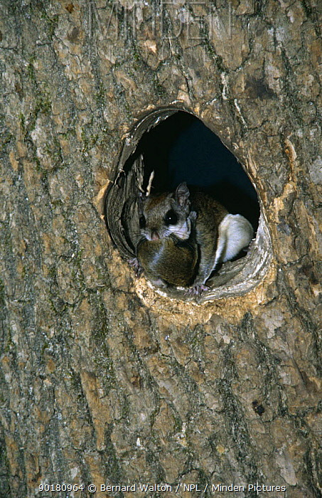 Southern flying squirrel (Glaucomys volans) with baby in mouth, at nest hole  -  Bernard Walton/ npl