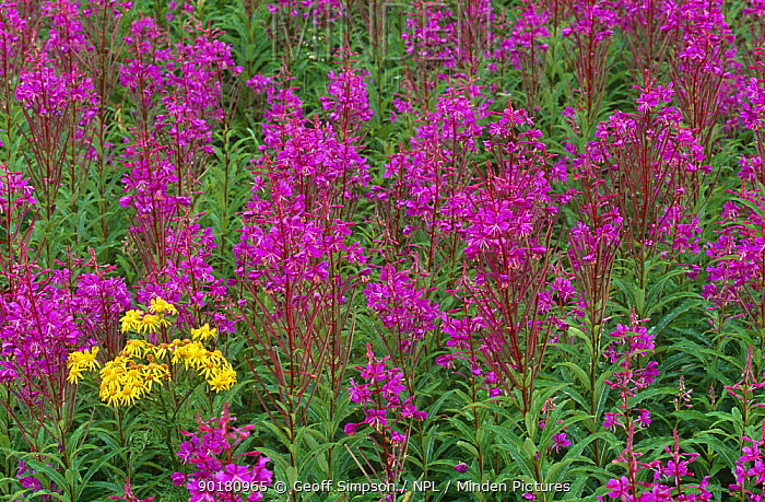 Rosebay willowherb (Epilobium angustifolium) and Ragwort (Senecio jacobaea) UK Ainsdale  -  Geoff Simpson/ npl