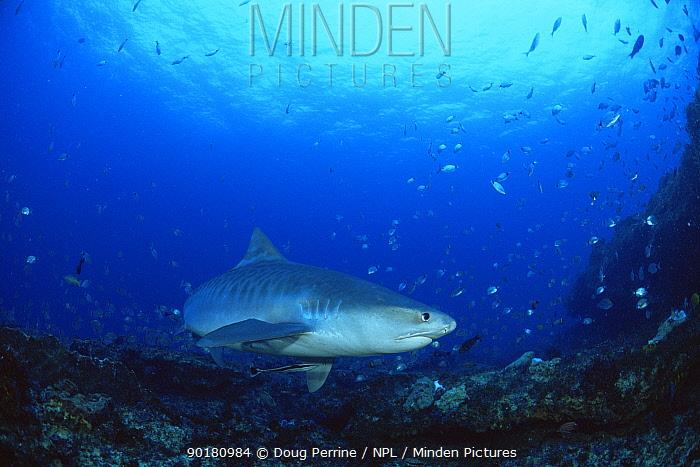 Tiger shark (Galeocerdo cuvieri) patrolling sea bed, South Africa  -  Doug Perrine/ npl