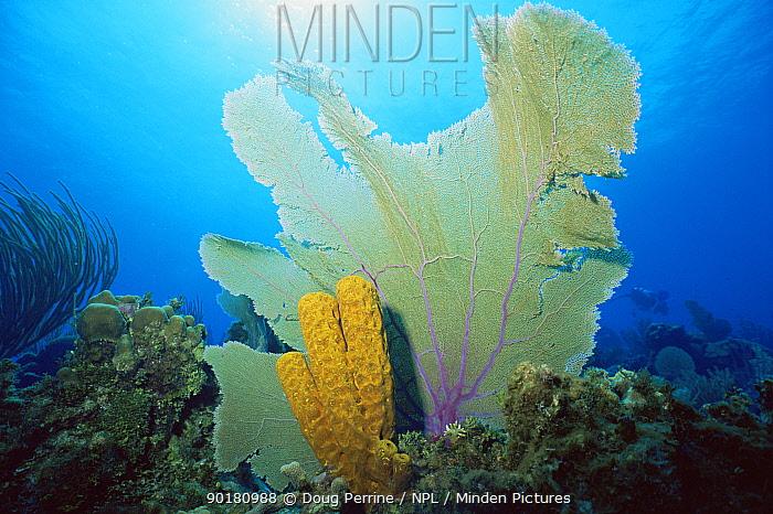 Yellow tube sponge (Aplysina fistularis) and Sea fan coral (Gorgonia ventalina) Cayman Islands, Caribbean  -  Doug Perrine/ npl