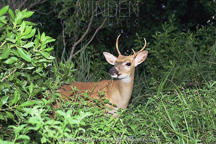 Key deer (Odocoileus virginianus clavium) Florida, USA  -  Doug Perrine/ npl