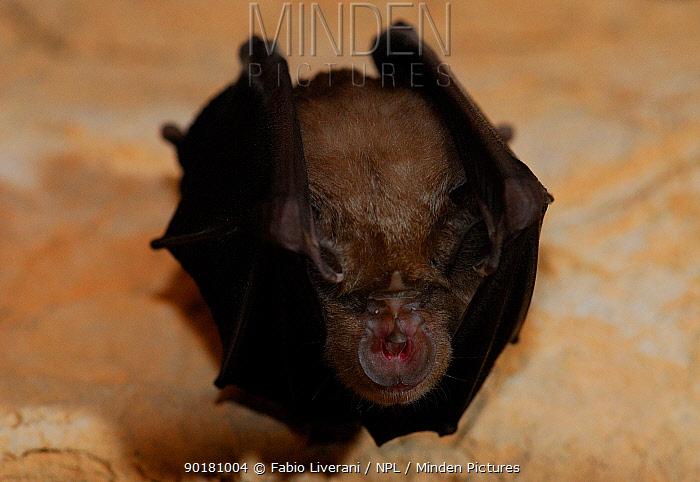 Horseshoe bat (Rhinolophus ferrumequinum) portrait hanging, Donini cave, Sardinia, Italy  -  Fabio Liverani/ npl