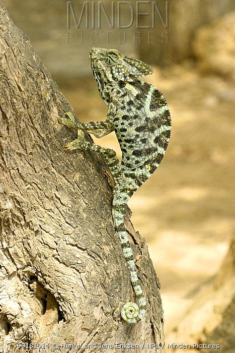 Arabian chameleon (Chamaeleo arabicus) climbing tree, Ayn Hamran, Oman  -  Hanne & Jens Eriksen/ npl