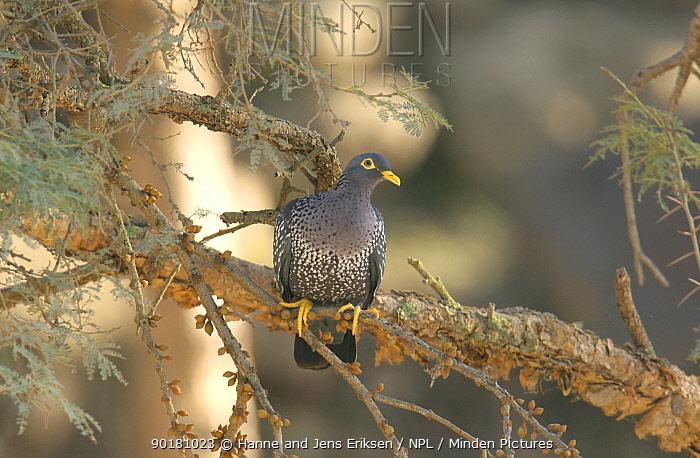 Olive pigeon (Columba arquatrix) in tree, Mahweet, Yemen  -  Hanne & Jens Eriksen/ npl