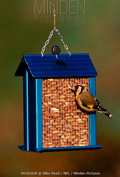 Goldfinch on peanut feeder (Carduelis carduelis) UK  -  Mike Read/ npl