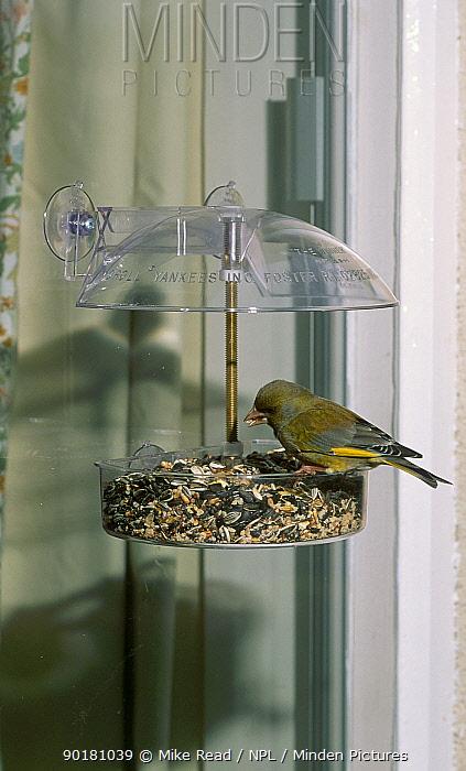 Greenfinch feeding on seeds at window feeder (Carduelis chloris) UK  -  Mike Read/ npl