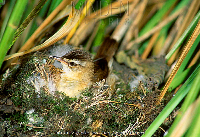 Sedge warbler at nest (Acrocephalus schoenobaenus) UK  -  Mike Read/ npl