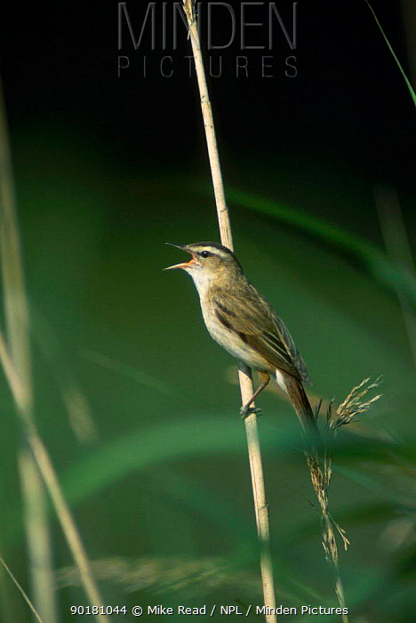 Sedge warbler singing (Acrocephalus schoenobaenus) France  -  Mike Read/ npl