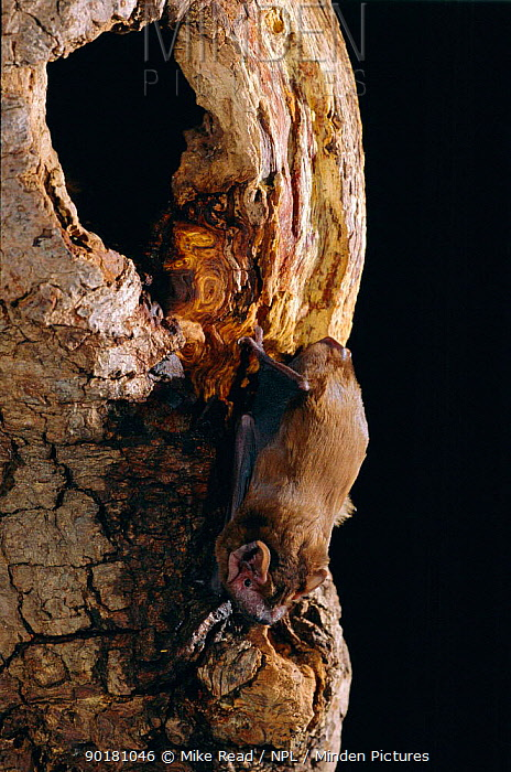 Noctule bat at roost site entrance in tree trunk (Nyctalus noctula) UK  -  Mike Read/ npl
