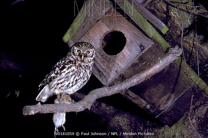 Little owl (Athene noctua) outside nest box with prey UK  -  Paul Johnson/ npl