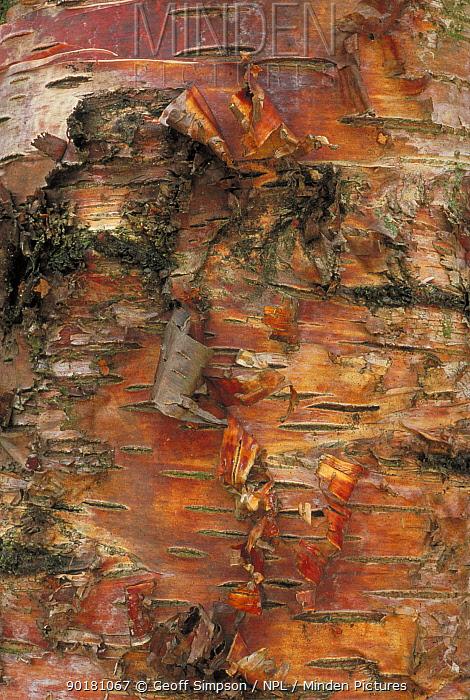 Silver birch bark, close up (Betula verrucosa, pendula)) Cheshire, UK  -  Geoff Simpson/ npl