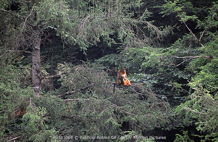 Golden snub nosed monkey in tree (Rhinopithecus roxellana) Baithe reserve, Sichaun, China, 2002  -  Patricio Robles Gil/ npl
