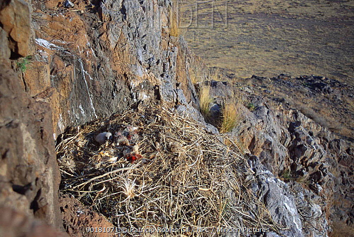 Golden eagle chick in nest (Aquila chrysaetos) Chihuahua, Mexico  -  Patricio Robles Gil/ npl