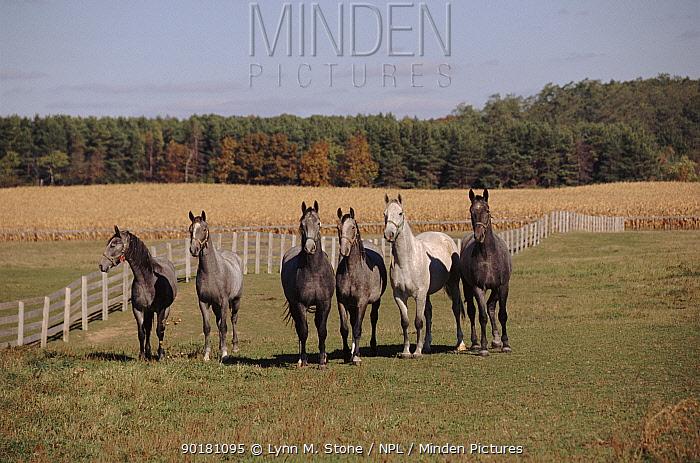 Lipizzaner horse juveniles, Illinois USA Turn lighter in colour as they mature  -  Lynn M. Stone/ npl