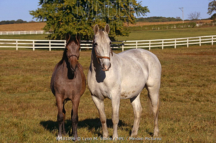 Lipizzaner horse mare and foal (Equus caballus) Temple farm, Wadsworth, Illinois, USA  -  Lynn M. Stone/ npl