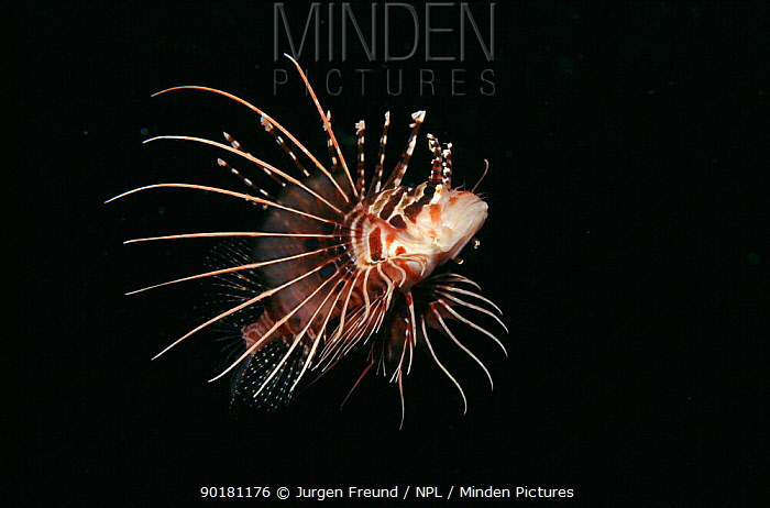 Lionfish swimming in open water Indo-Pacific  -  Jurgen Freund/ npl